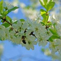 Весна идет - весне дорогу :: Василек photo