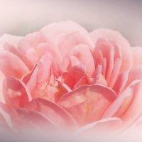 Розовая мечта :: Swetlana V