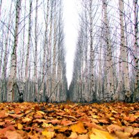 В осенней лесополосе :: Константин Филякин