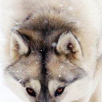 Волчица :: Ершов Андрей