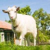 коза :: Alex Bush