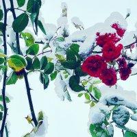 Розыпод снегом :: Владимир Болдырев