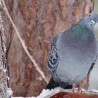 Любопытный голубь. :: Виктор Евстратов
