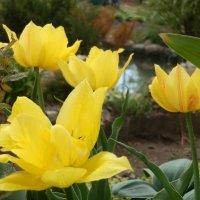 Желтые тюльпаны. :: Королева Надежда