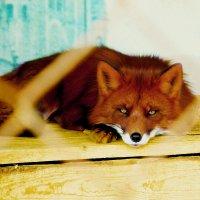 Рыжая бестыжая :: Александра Грахова