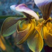 Орхидеи :: marmorozov Морозова