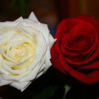 Красная Роза-Праздник, Белая Роза-Новый Год ! :: Damir Si