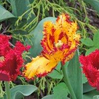 Тюльпаны в монастырском саду. :: Геннадий Александрович