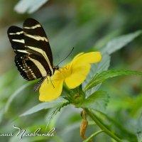 Черный мотылек и желтенький цветок. :: Виталий Половинко
