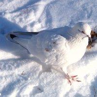 Снежный голубь! :: Наталья