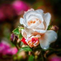 Роза :: Сергей Афонин