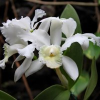 Белая орхидея на Тенерифе. :: Пётр Сесекин
