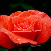 Роза после дождя :: Алена Бестик