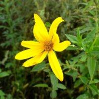 Цветок Топинамбура :: Валерий Судачок