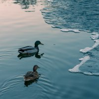 Зимний пейзаж с утками :: Евгений Поляков