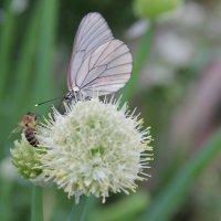 Пчела и бабочка :: Рамиль Шаяхметов