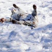 Веселый бенгальский тигр :: Аркадий Лаптенко
