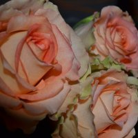 Розы. :: zoja