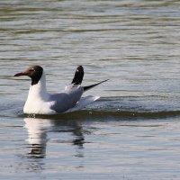 Озерная  чайка. :: Валерия  Полещикова