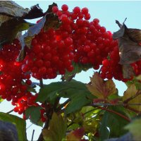 Калина красная... :: Тамара (st.tamara)