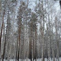 Берёзовый лес :: Галина