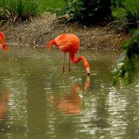 Фламинго :: Alexander Andronik