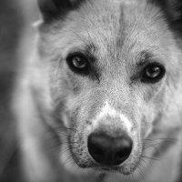 Глаза зверя :: Валерия Азамат