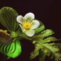 цветочек :: Алёна Колесова