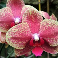 Орхидея :: Игорь