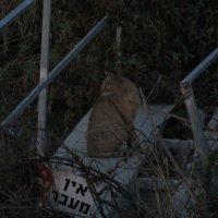 Камышовый кот :: Герович Лилия