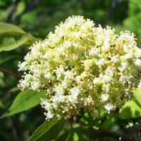 Цветение и благоухание :: Лидия (naum.lidiya)