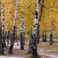 Осенние песни берез :: Татьяна Ломтева