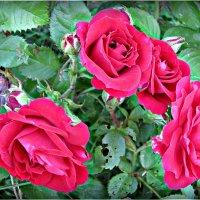 мои розы :: Надежда