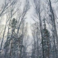 Зимний лес :: Денис Казаков