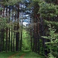 Сосновый  лес. :: Валера39 Василевский.
