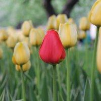 Тюльпаны :: Машуня Орлова