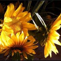 Солнечные цветы :: Елена Олейникова