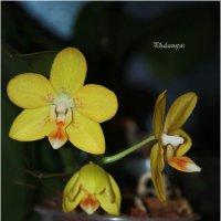 Желтый безродный) фаленопсис :: Наталья Vorobjeva