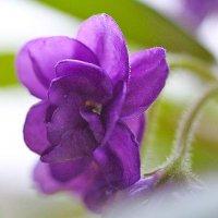Цветок фиалки :: Nikolay Monahov