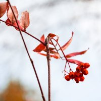 Рябина красная :: Евгения