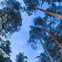 Вечерний лес :: Максим Никитенков