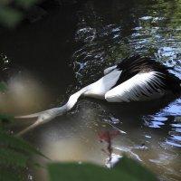 пеликан на охоте или что делать, если мелко :: Андрей Чепурнов