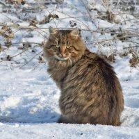 Зимняя кошка... :: Наталья Костенко
