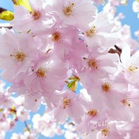 Сакура цветет :: Swetlana V