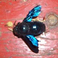 Неизвестное мне насекомое с яркими крыльями и похожее на муху :: Владимир Ростовский