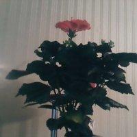 Китайская роза :: Людмила