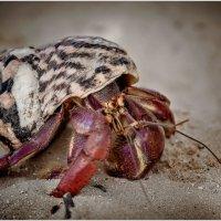 Краб отшельник...остров Контой.Мексика. :: Александр Вивчарик