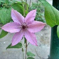 Слиянье воздуха и цвета в переплетении ветвей... Такой цветок клематис :: Нина Корешкова