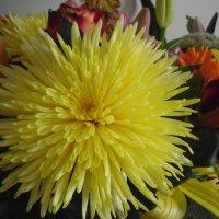 Жёлтая хризантема. :: zoja