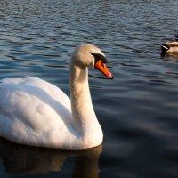 Лебеди :: Дмитрий Сорокин